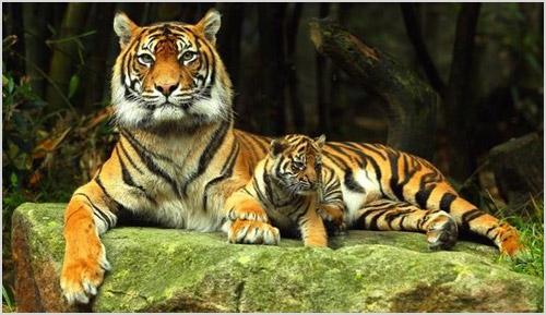 Тигрица с тигренком