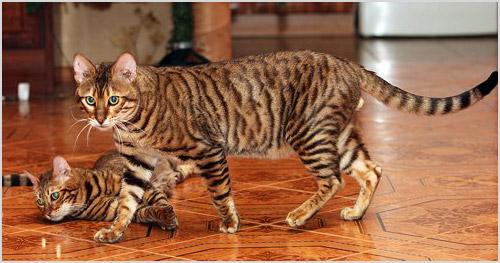 Кошки гуляют по дому