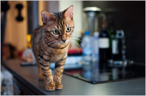 Котенок породы тойгер
