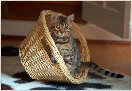 Котенок тойгер играет с корзиной