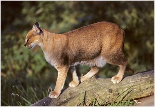 Африканская золотая кошка