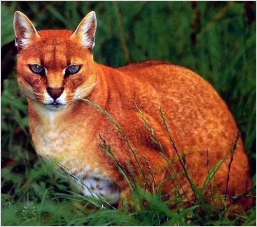 Фото золотой кошки