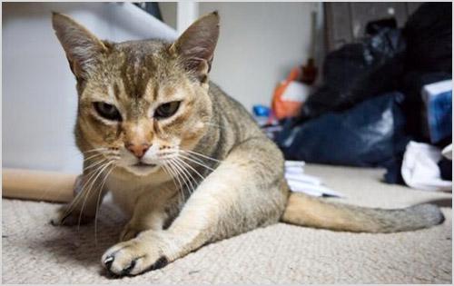 Кошка ползает о ковру