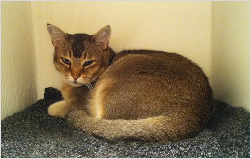 Кот азиатский табби