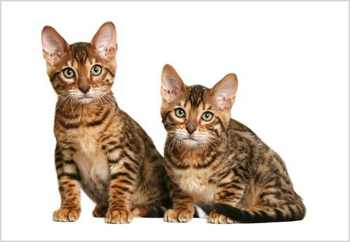 Котята азиатской табби