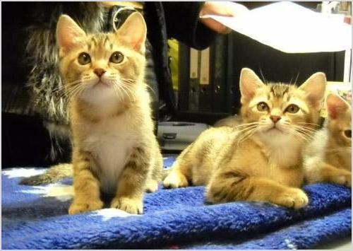 Котята породы азиатская табби