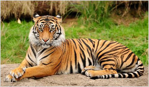 Фото бенгальского тигра