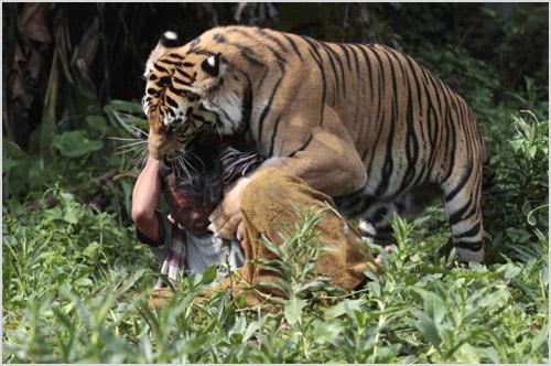 Бенгальский тигр играет с человеком