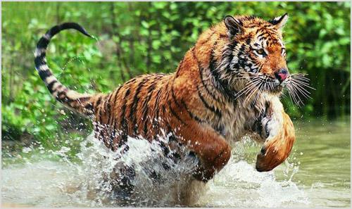 Охота бенгальского тигра