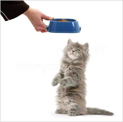 Кормление котенка мейн-куна