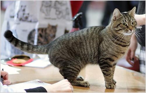 Кельтская кошка гуляет по столу