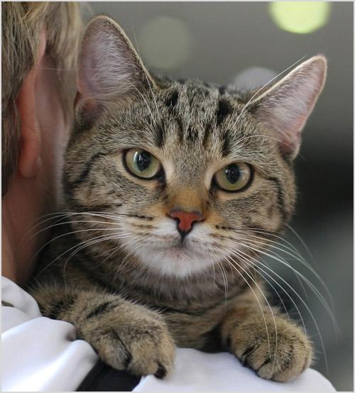 Кельтская кошка сидит на плече