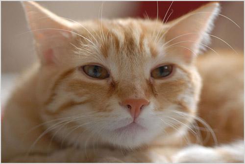 Фото европейской короткошерстной кошки