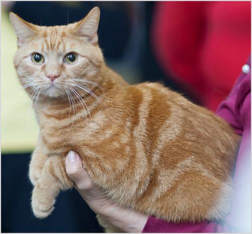 Европейская кошка сидит на руках у хозяина