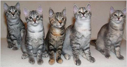 Котята европейской короткошерстной кошки