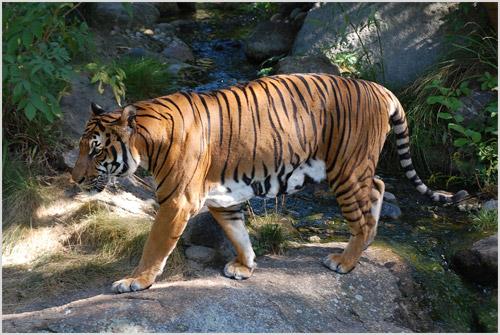 Индокитайский тигр