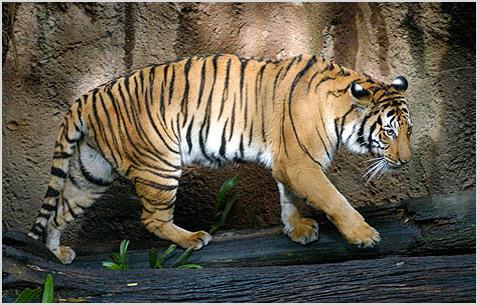 Фото индокитайского тигра