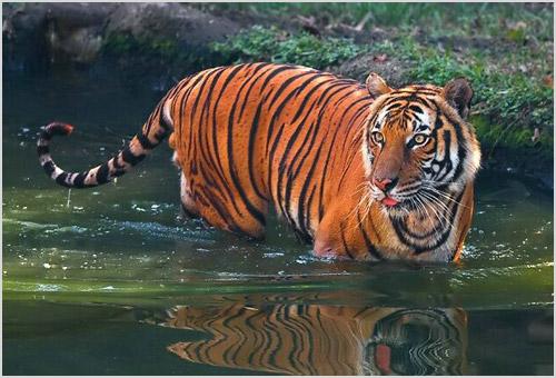 Тигр ходит по воде