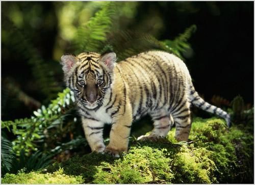 Котенок индокитайского тигра