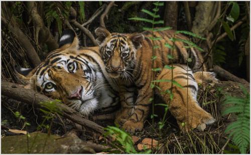 Тигрица с котенком