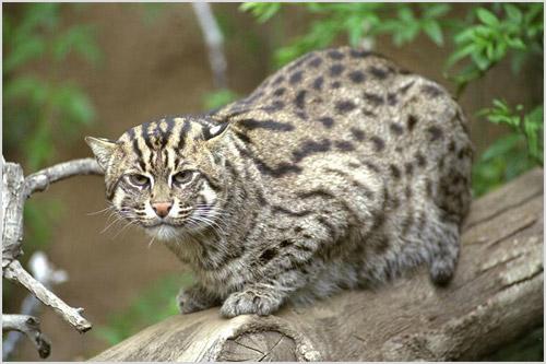 Ириомотейский кот