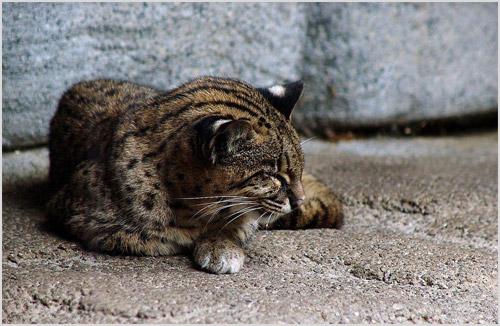 Фото ириомотейской кошки
