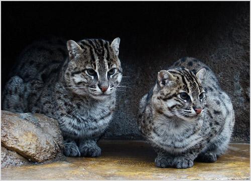 Ириомотейские кошки