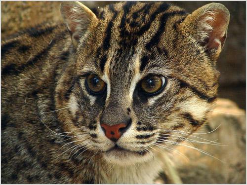 Ириомотейская кошка