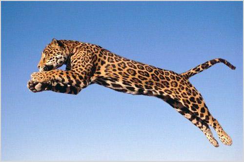 Прыжок ягуара