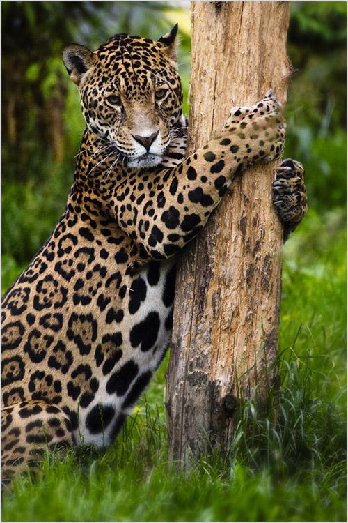 Ягуар лезет на дерево