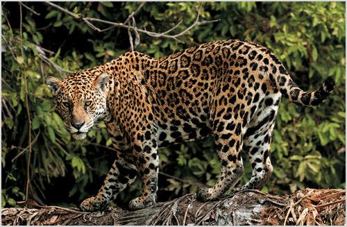 Кошка ягуар
