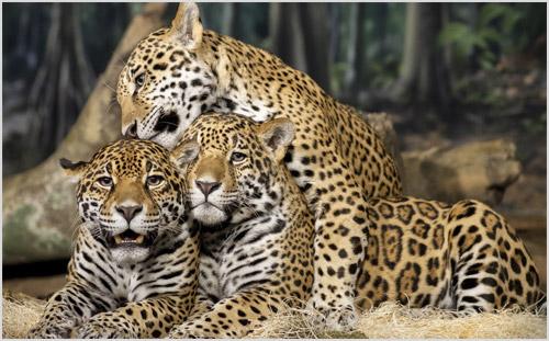 Котята ягуара