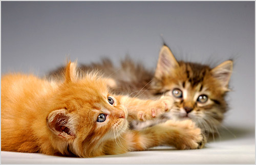 Котята карельского бобтейла