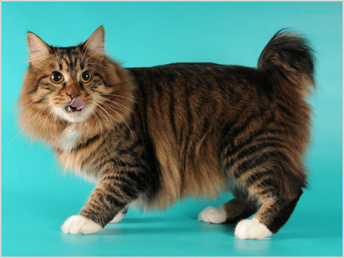 Кот карельский бобтейл