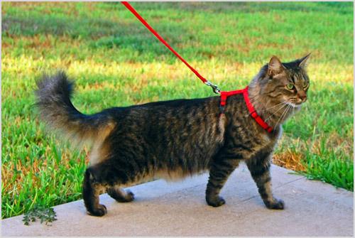 Кошка гуляет на шлейке