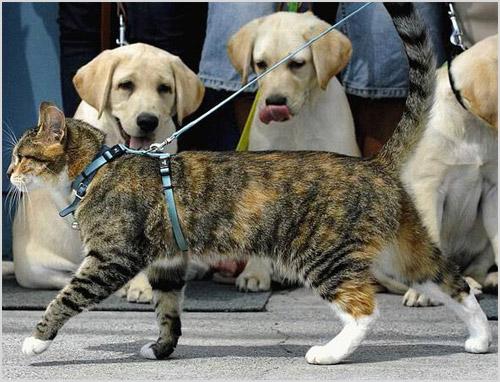 Кошку выгуливают на шлейке