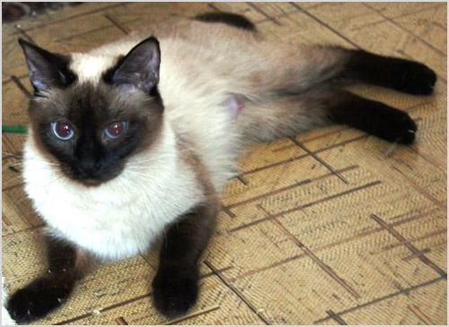 Скиф-той-боб кошка