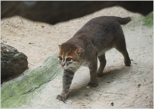 Фото суматранской кошки