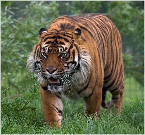 Тигр идет по лесу