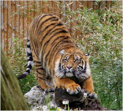 Тигр готовится к прыжку