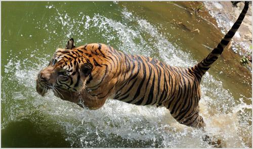Охота суматранского тигра