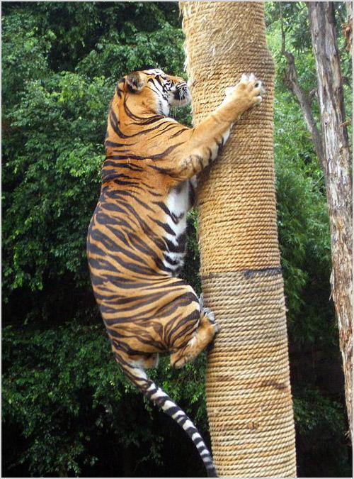 Тигр лезет по дереву