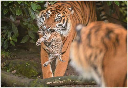 Самка тигра несет в зубах детеныша