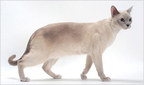 Кошка тонкинской породы