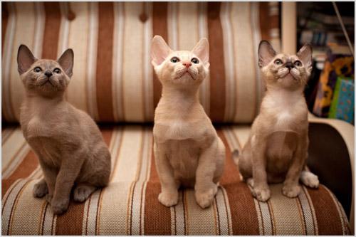 Котята тонкинской кошки