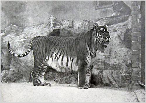 Фото каспийского тигра