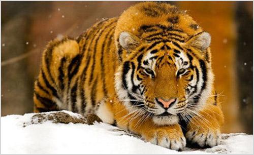 Фото туранского тигра