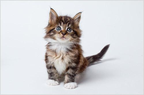 Котенок породы мейн-кун