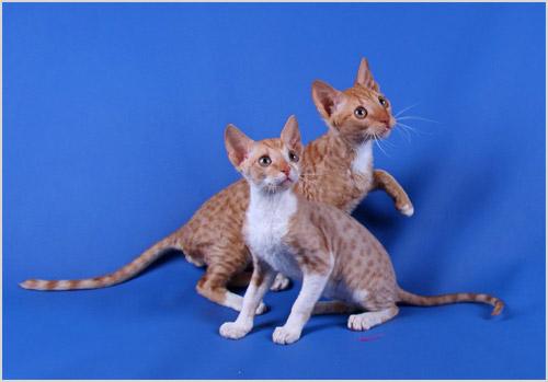 Котята уральского рекса