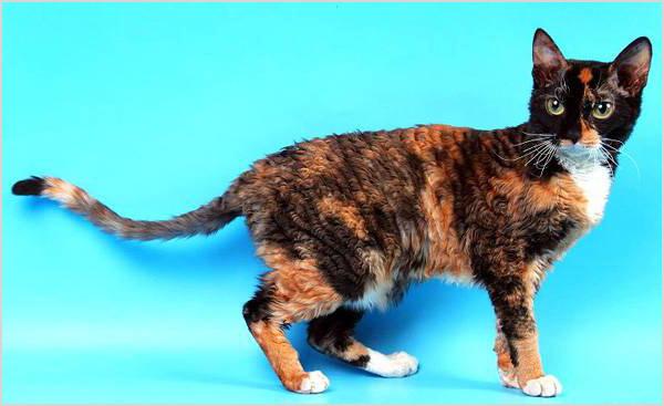 Кот уральский рекс
